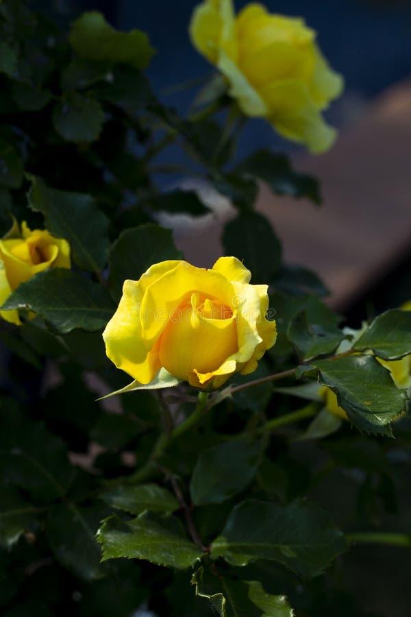 Un capullo de rosa amarillo en el jardín imágenes de archivo libres de regalías