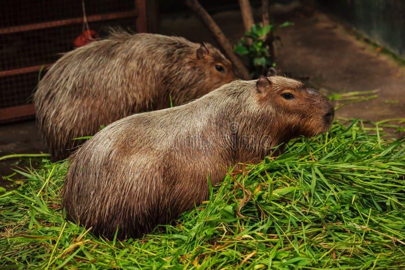 Un capybara es el roedor más grande del mundo, estrechamente vinculado a los conejillos de Indias con el pelo lanudo marrón claro imagen de archivo libre de regalías