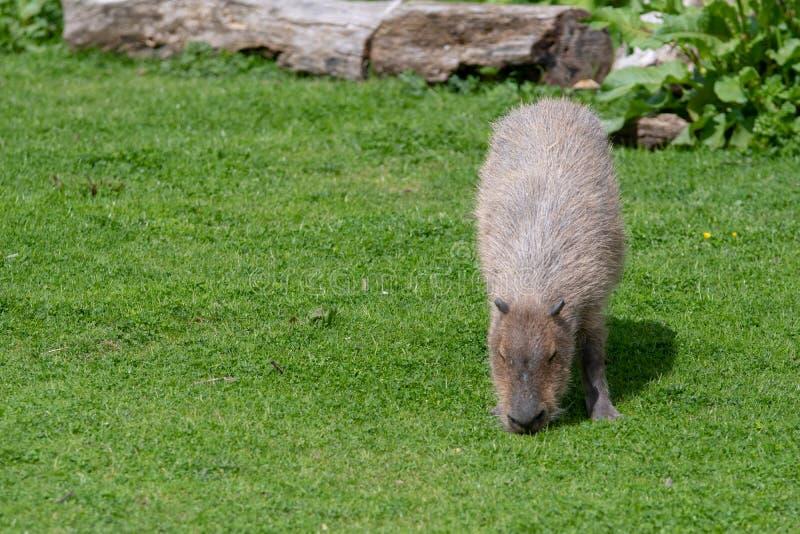Un capybara solo che pasce sulla breve erba immagine stock libera da diritti