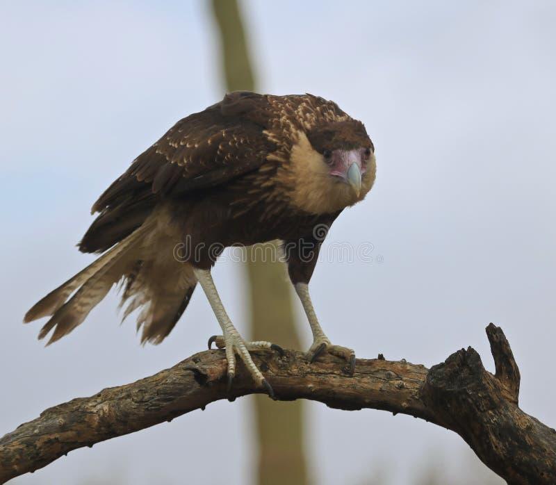 Un Caracara crestato nordico acerbo, Caracara cheriway fotografia stock libera da diritti