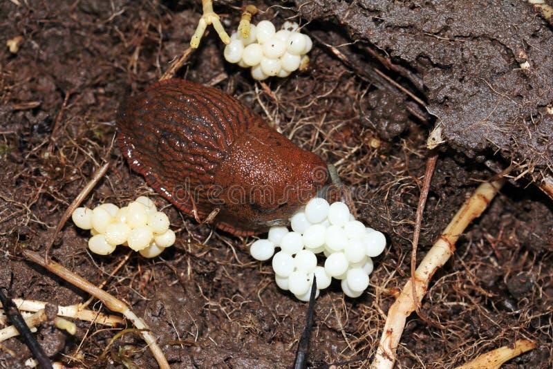 Un caracol pone los huevos fotos de archivo