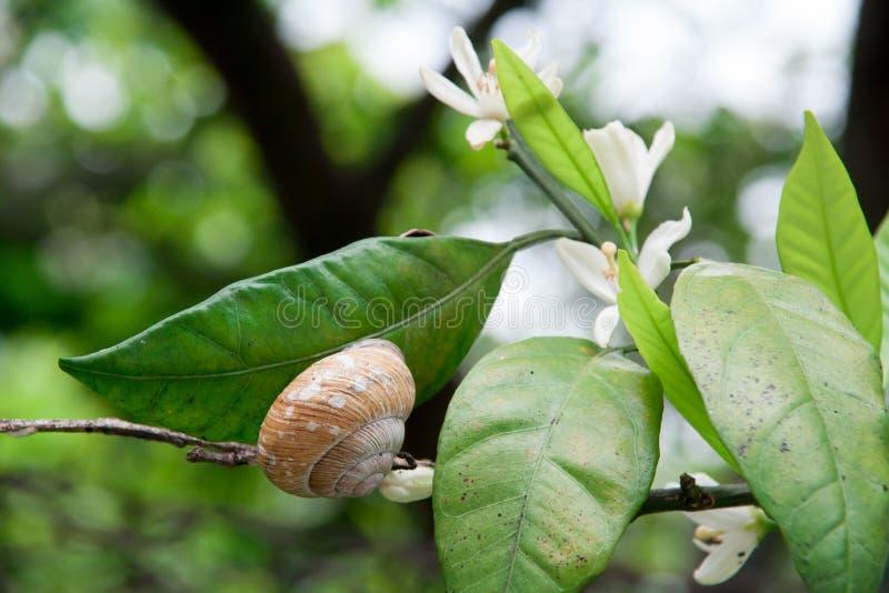Un caracol se sienta en rama de árbol floreciente imagenes de archivo