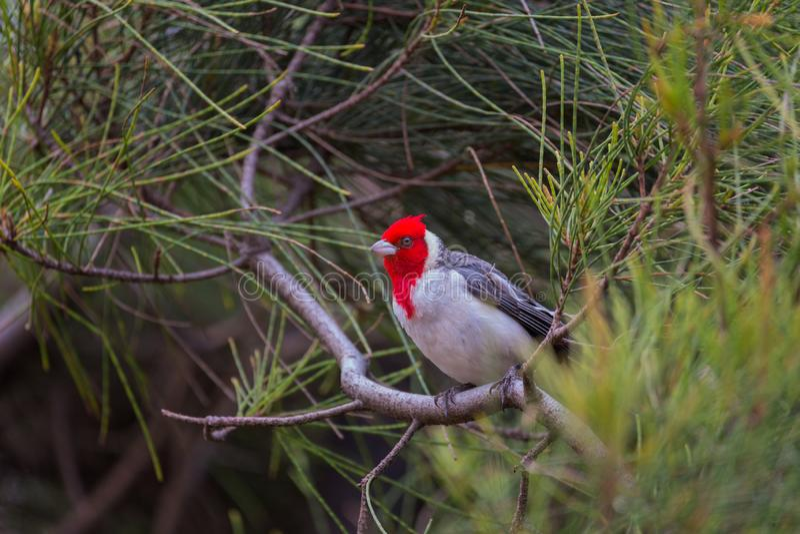 Un cardenal con cresta rojo en Hawaii imágenes de archivo libres de regalías