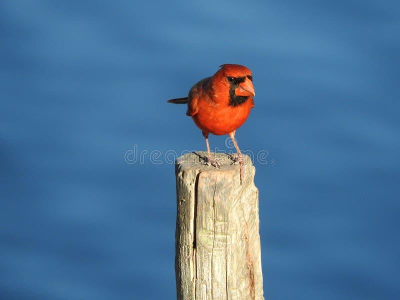 Un cardinale (cardinalis di Cardinalis) su una posta fotografia stock libera da diritti