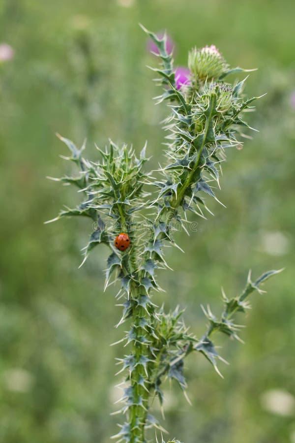 Un cardo espinoso de la planta con una mariquita en un fondo borroso pálido al aire libre en el salvaje en agosto foto de archivo libre de regalías