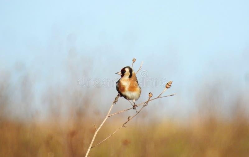 Un carduelis europeo del Carduelis del pájaro del jilguero foto de archivo libre de regalías