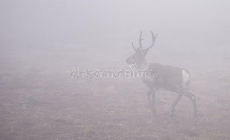 Un caribou marche dans un paysage brumeux en Alaska image libre de droits