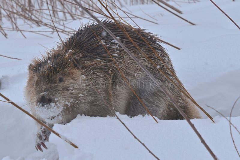 Un castor que viaja a través de la nieve profunda foto de archivo