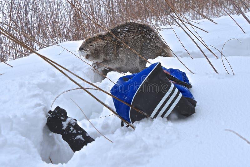 Un castor que viaja a través de la nieve profunda fotos de archivo libres de regalías