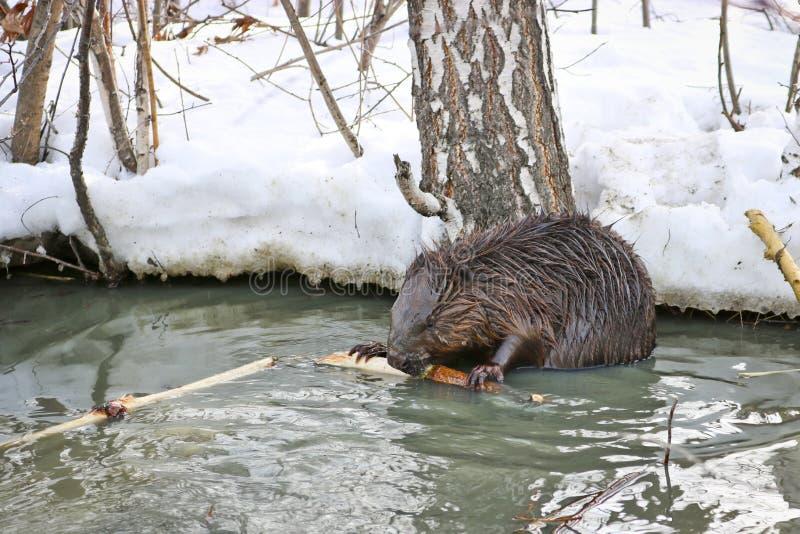 Un castoro selvaggio in un parco della città è entrato in una pozza con gli scoli e sgranocchia la corteccia dai rami immagine stock