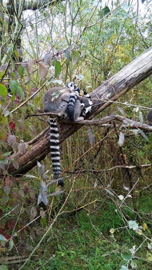 Un catta di due lemure intrecciato su un ramo allo zoo di Sainte Croix in Mosella immagine stock libera da diritti