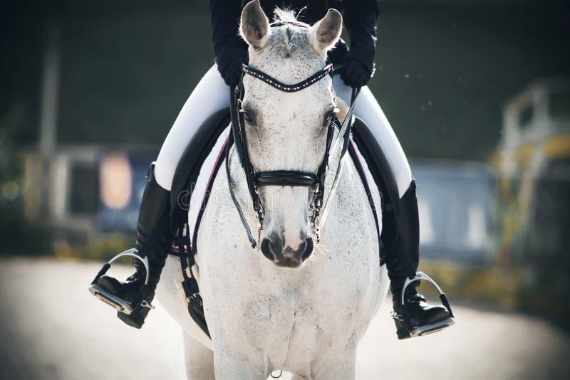 Un cavaliere si siede cavalcando un cavallo grigio che attraversa l'arena fotografia stock