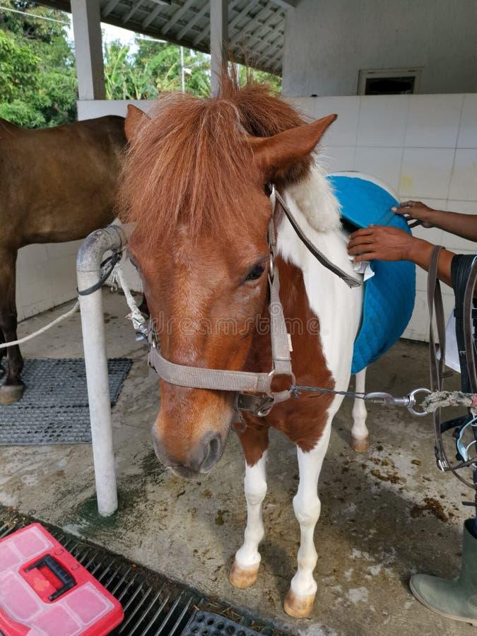 Un cavallino maturato che si prepara per il suo giro fotografia stock