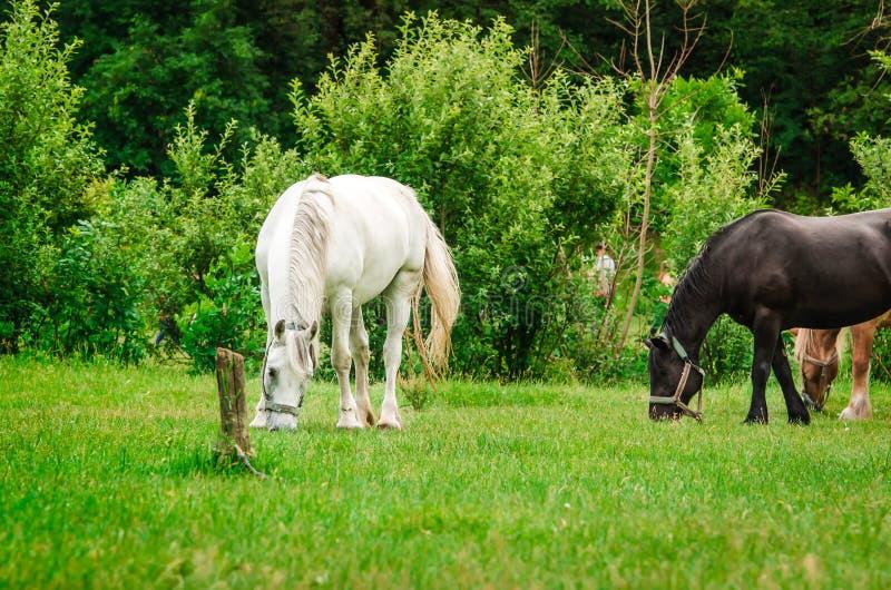 Un cavallo bianco legato ad una posta sta mangiando l'erba verde immagini stock
