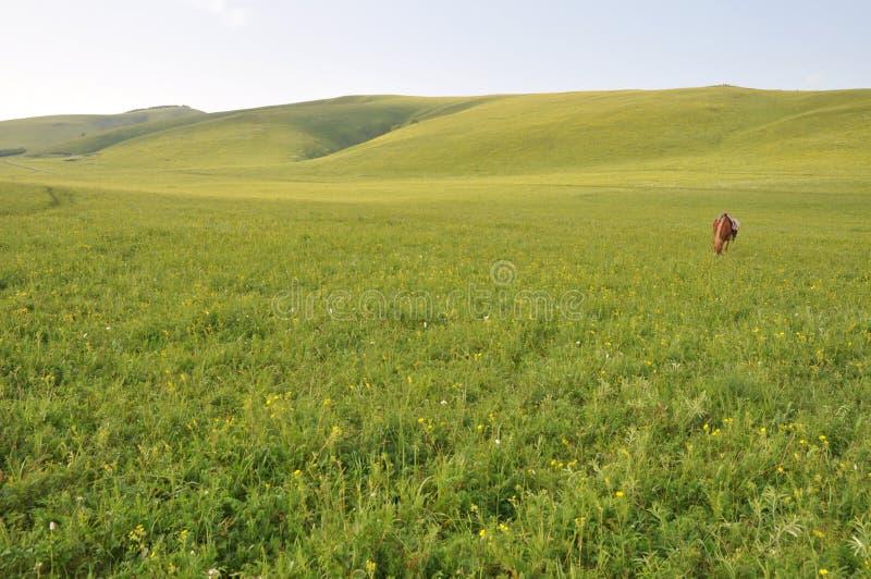 Un cavallo che pasce erba in pascolo immagine stock