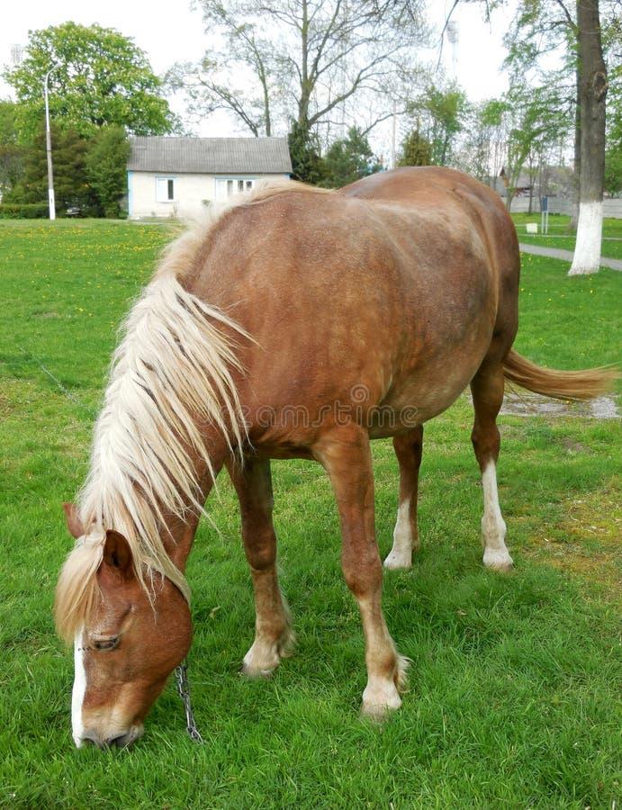 Un cavallo che pasce in un prato vicino alla casa fotografia stock libera da diritti