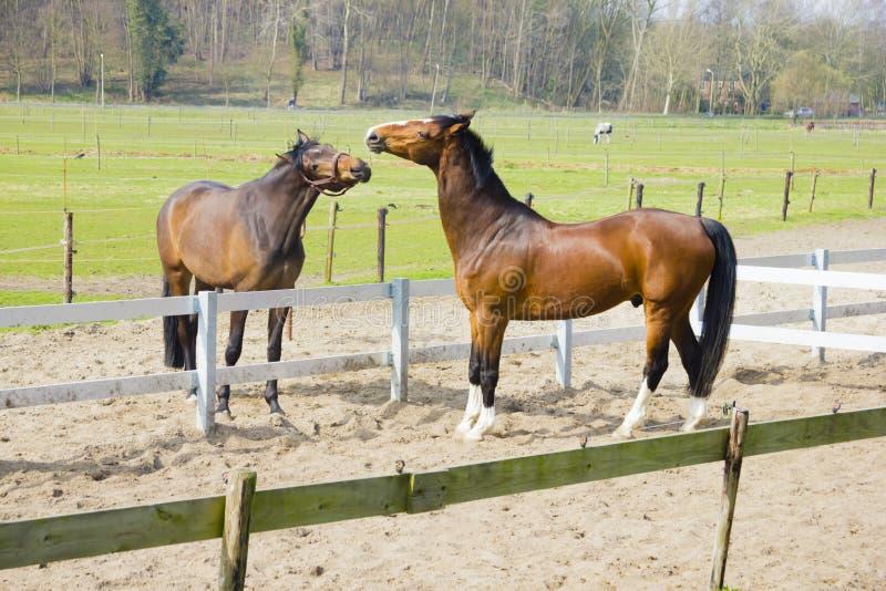 Un cavallo che prova a mordere l'altro cavallo fotografia stock