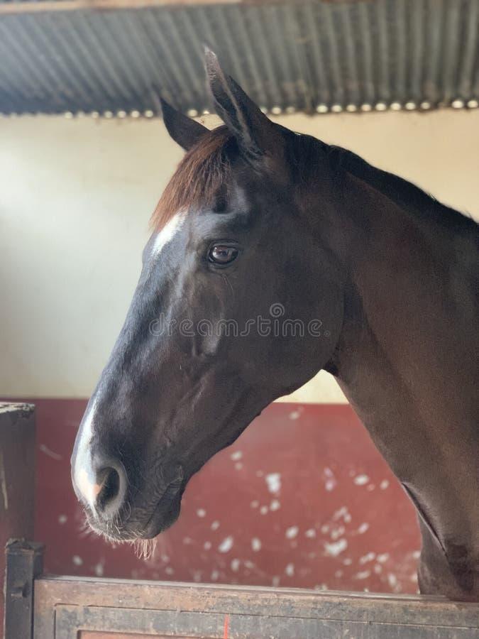 Un cavallo con i bei occhi che stanno nella stalla Ritratto immagine stock libera da diritti