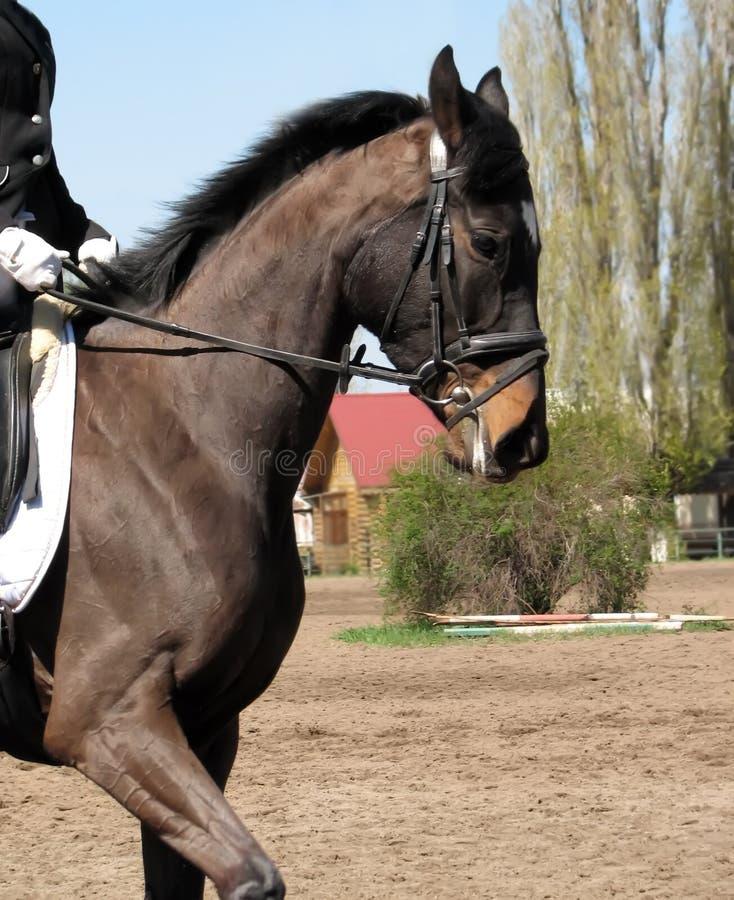Un cavallo di baia è guidato da un cavaliere fotografie stock libere da diritti