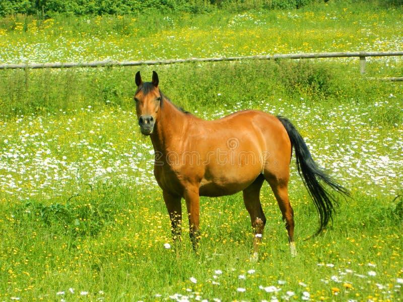 Un cavallo di baia in un campo delle margherite in Surrey fotografia stock