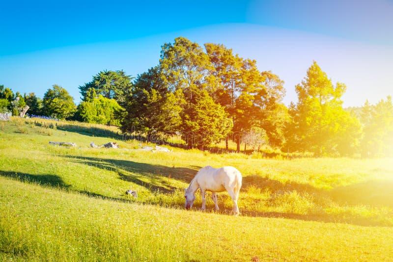 Un cavallo grigio che pasce in un prato su un pendio verde della collina fotografia stock