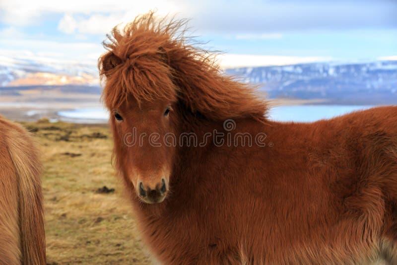 Un cavallo islandese che esamina lo spettatore davanti alle montagne innevate e ad un lago fotografia stock