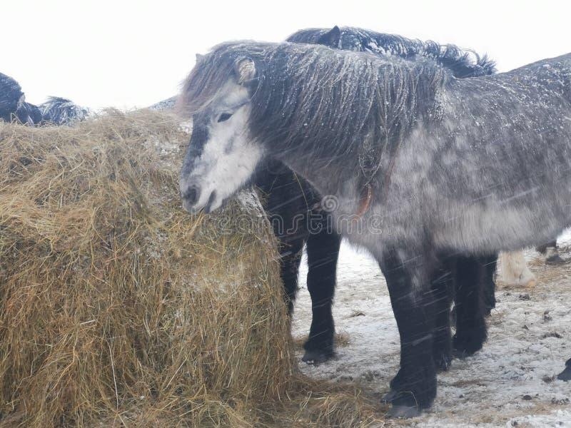 Un cavallo islandese grigio fotografia stock