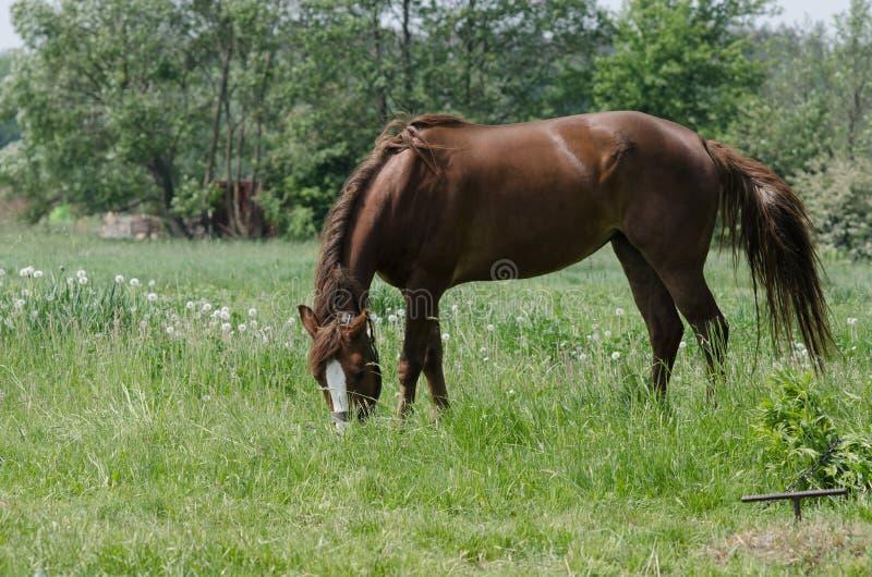Un cavallo pasce fotografia stock