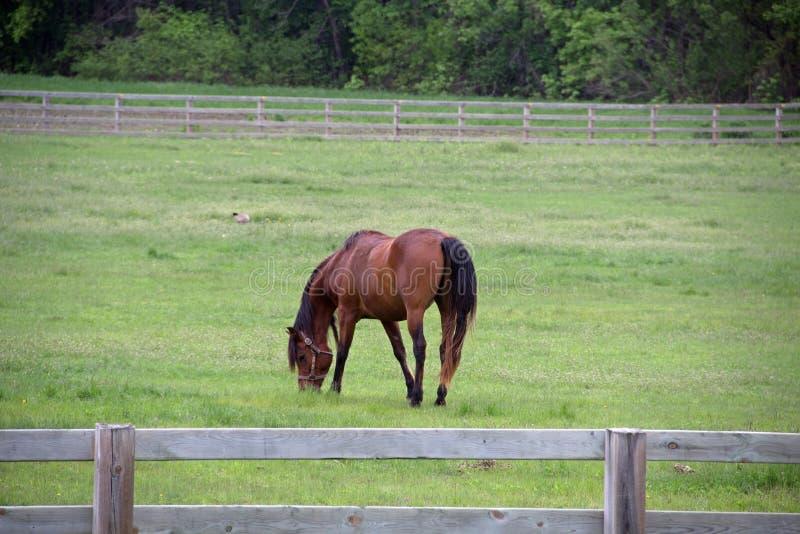 Un cavallo in un pascolo recintato immagine stock libera da diritti