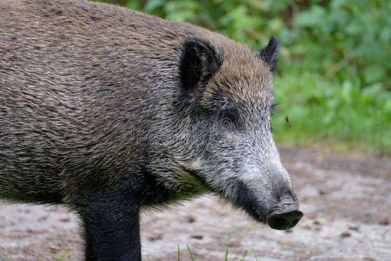 un cerdo curioso se está colocando en el medio de un claro del bosque fotografía de archivo libre de regalías
