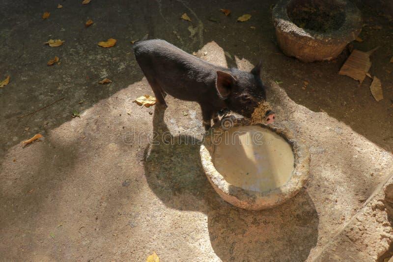 Un cerdo joven come de un canal de piedra en una pocilga del ladrillo El cerdo vietnamita come y el hocico tiene comida sucia St  fotos de archivo libres de regalías