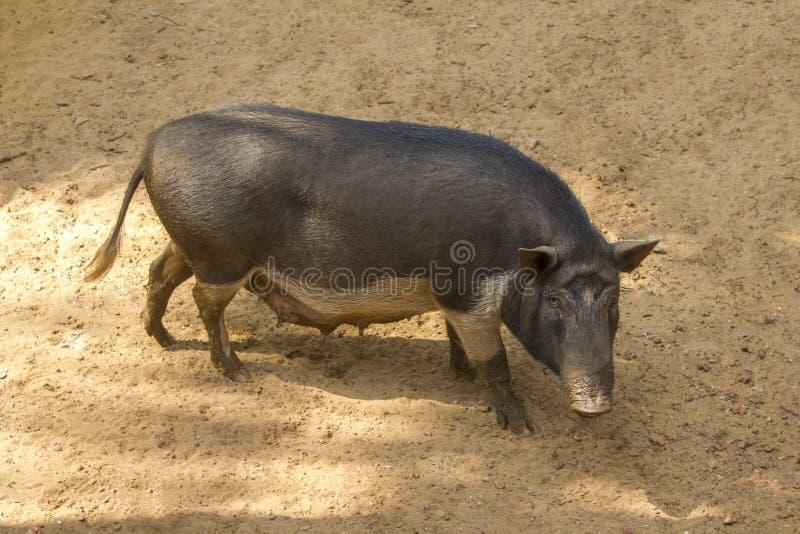 Un cerdo melenudo oscuro de la cerda en la granja fotos de archivo