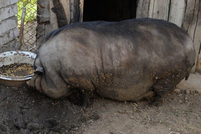 Un cerdo vietnamita vietnamita grande no puede caminar durante mucho tiempo y no ve solamente imagenes de archivo