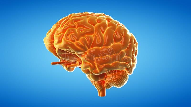 Un cerebro anaranjado abstracto ilustración del vector