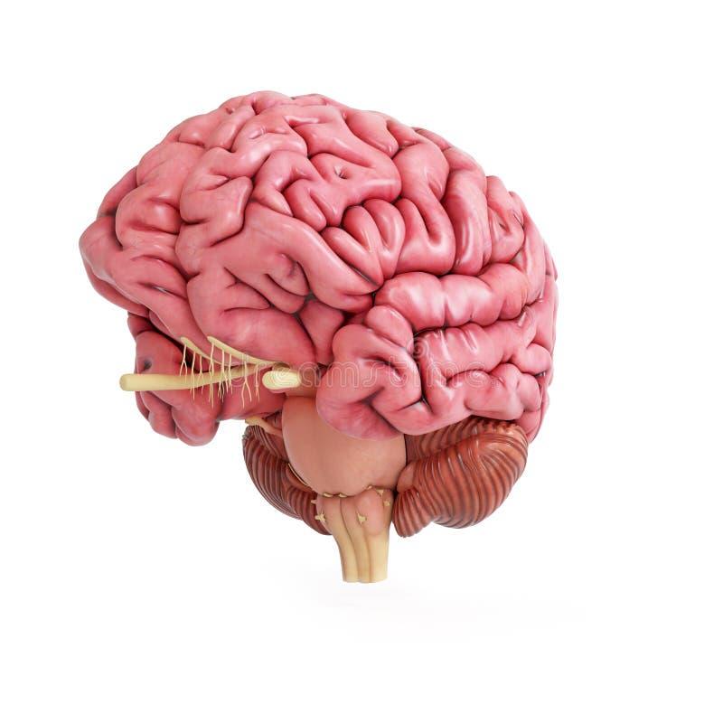 Un cerebro humano realista libre illustration