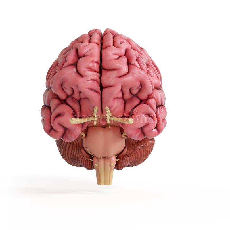 Un cerebro humano realista stock de ilustración
