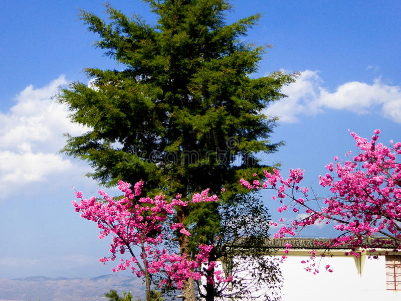 Un cerezo en el frente de una casa foto de archivo libre de regalías