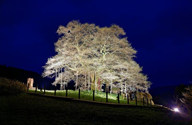 Un cerezo enorme encendido para arriba en un jardín de la primavera por la tarde imagen de archivo libre de regalías