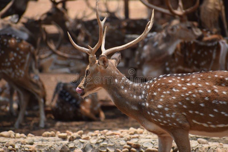 Un cerf commun assoiffé photographie stock