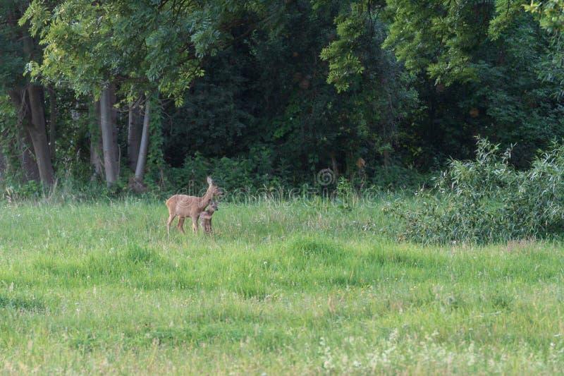 Un cerf commun avec un faon au bord d'une forêt images libres de droits