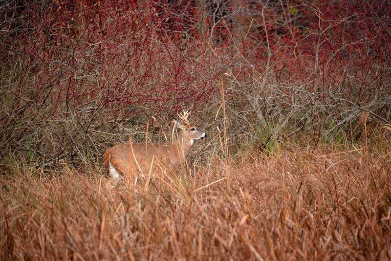 Un cerf commun coupé la queue par blanc errant dans le marais dans l'automne en retard photo libre de droits