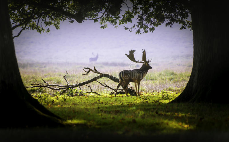 Un cerf commun dans la brume de matin photo stock