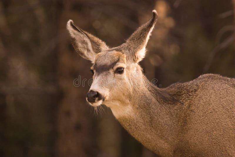 Un cerf commun de mule femelle image stock