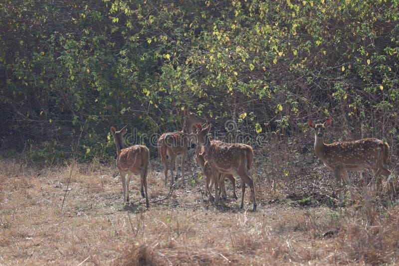 Un cerf commun errant dans la jungle images stock