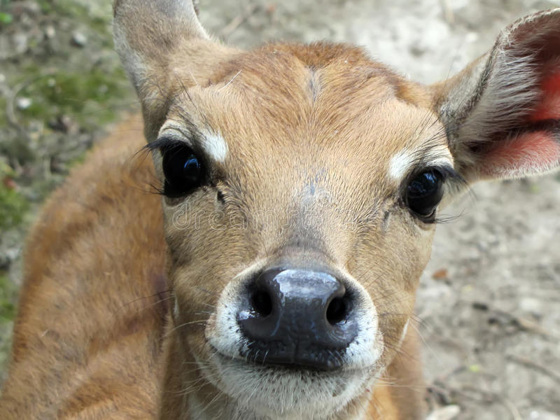Un cerf commun est dans un zoo, regarde dans une chambre image libre de droits