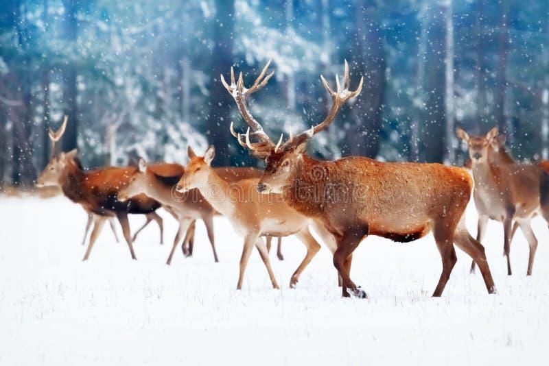 Un cerf commun noble avec des femelles dans le troupeau dans la perspective d'un hiver artistique de belle d'hiver forêt de neige photos libres de droits
