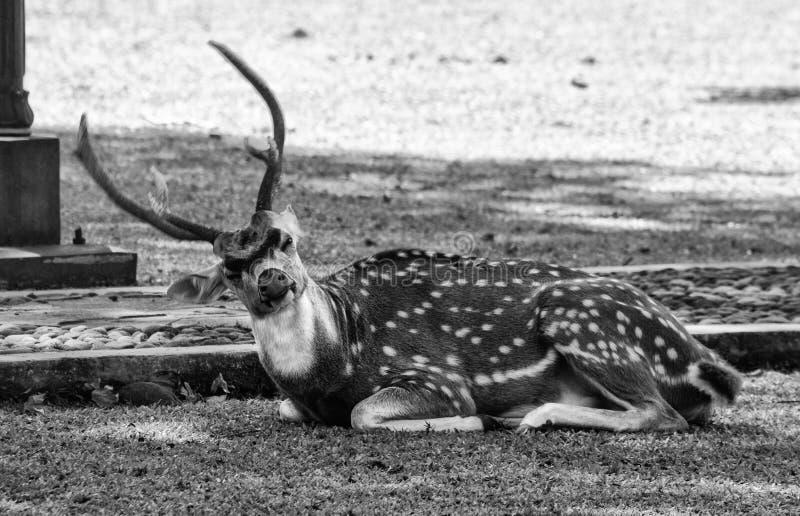 Un cerf commun qui est autour du palais d'état en Indonésie photos stock
