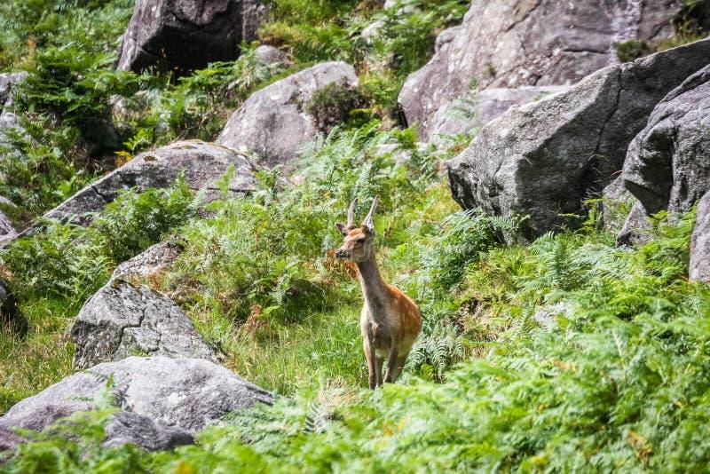 Un cerf commun sur le parc national de Wicklow de flanc de coteau image libre de droits