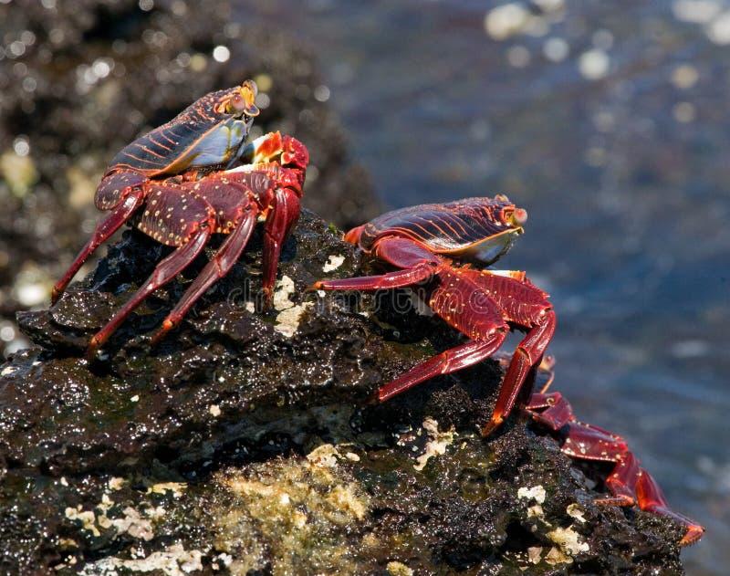 Un certain crabe rouge se reposant sur les roches Les îles de Galapagos L'océan pacifique l'equateur images libres de droits