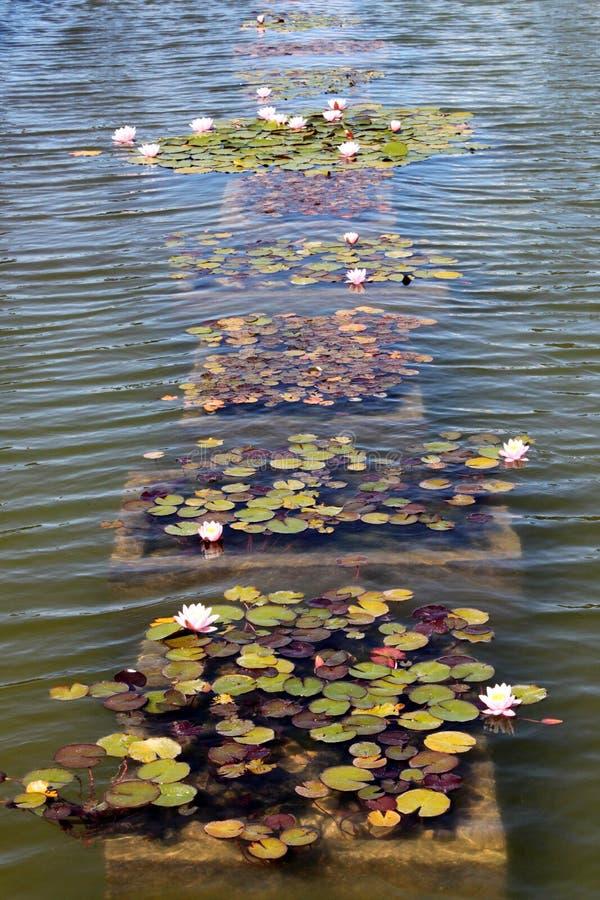 Un certain nénuphar rose sur le fond de l'eau bleue Vue verticale image libre de droits